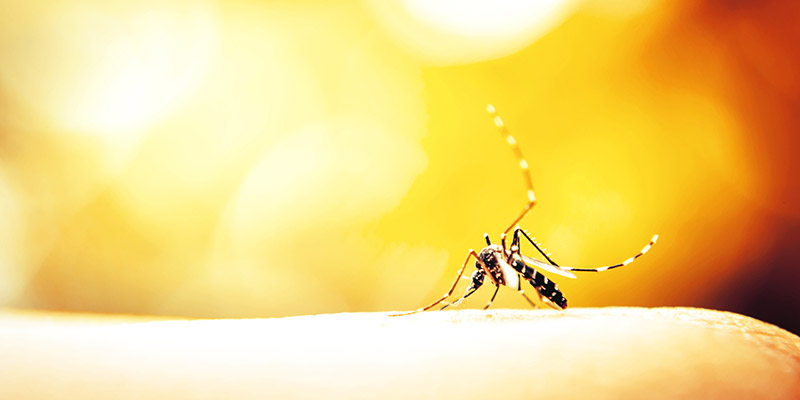 Mosquito sucking blood on human skin with nature background ** Note: Visible grain at 100%, best at smaller sizes